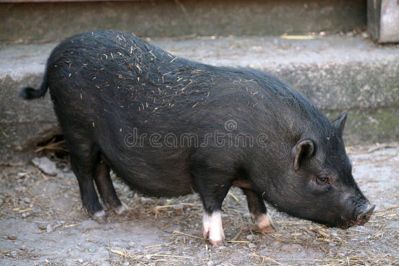黑小猪 库存图片