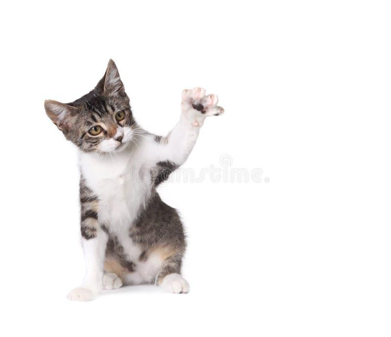 小猫一点pawing的白色 免版税库存照片