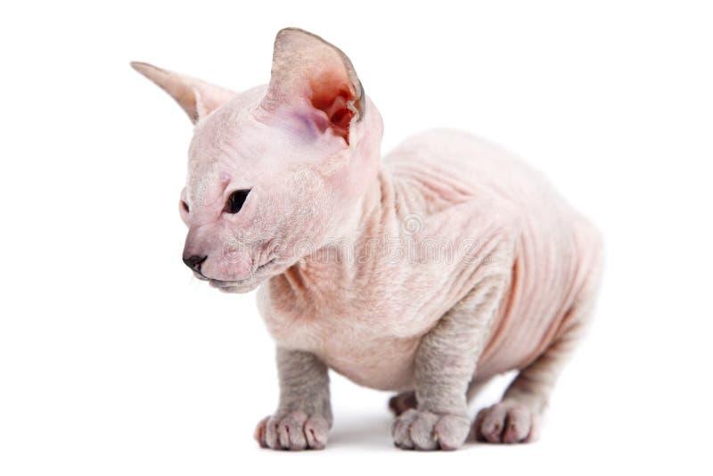 小猫东方人 图库摄影