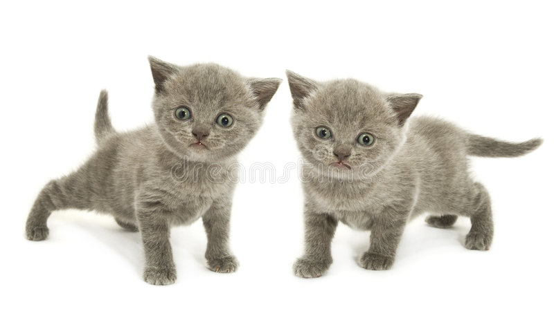 小猫二白色 免版税库存照片