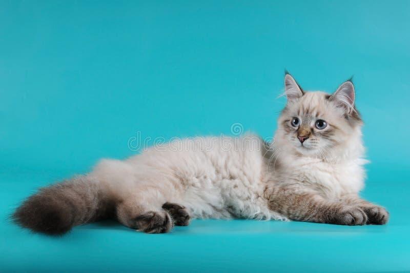 小猫位于的西伯利亚人 免版税图库摄影