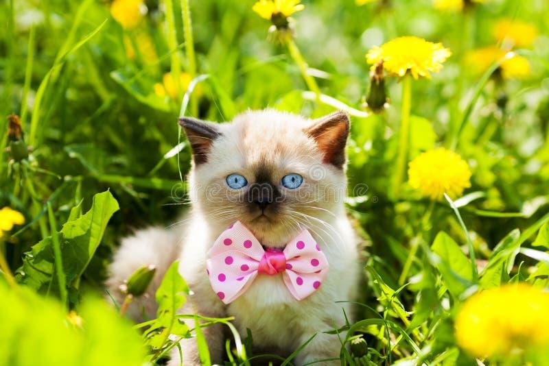 小猫佩带的蝶形领结 免版税库存图片