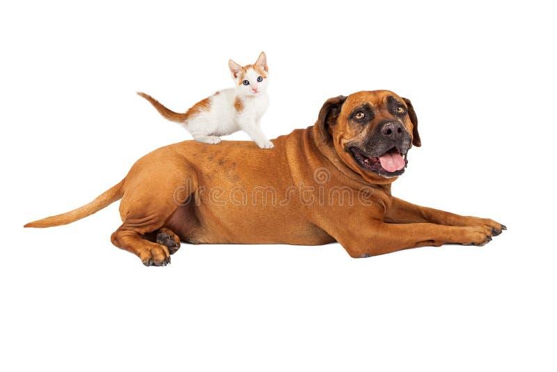 小猫坐大型猛犬狗 免版税库存照片