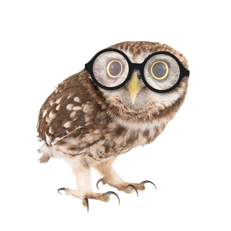 小猫头鹰戴着眼镜,雅典娜小猫头鹰,站立在白色背景 库存图片