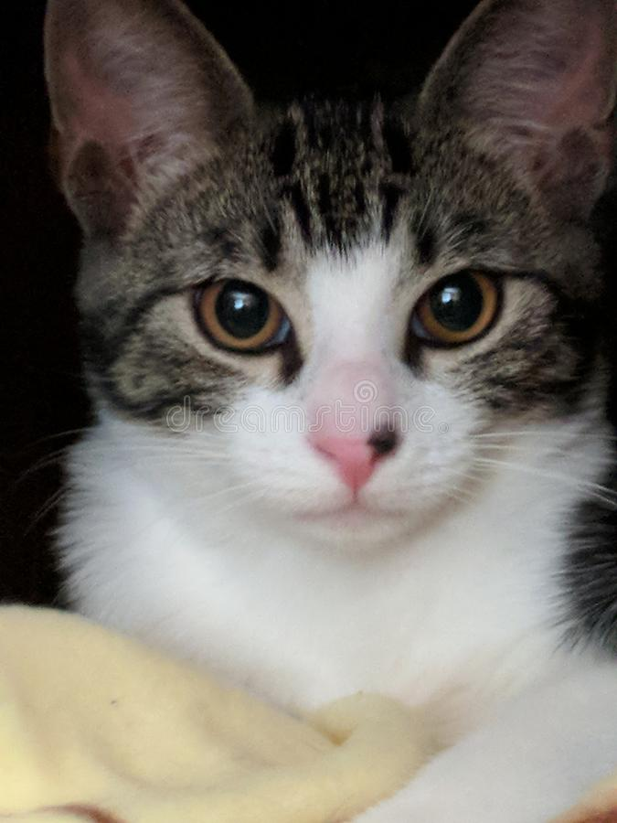小猫布朗和白色 免版税库存照片