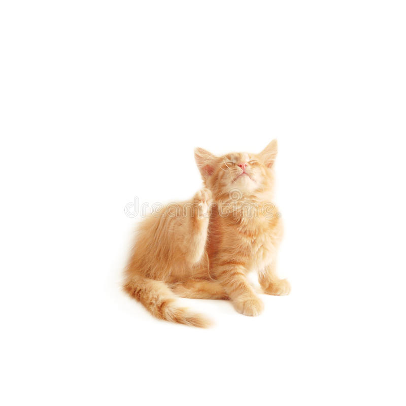 小猫抓 库存图片