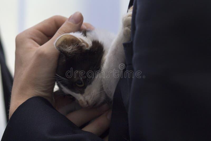 小猫是在一名妇女的手里风雨棚的 库存图片