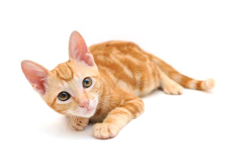 小猫桔子平纹 库存图片