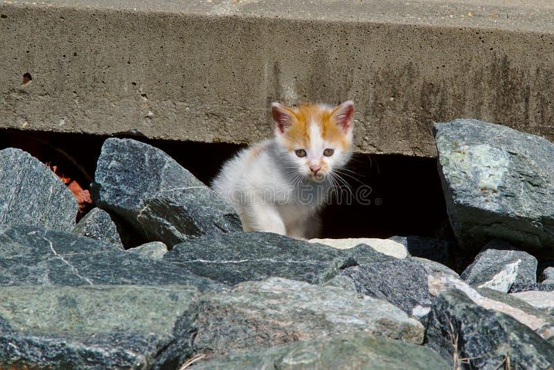 小猫橙色白色 库存图片
