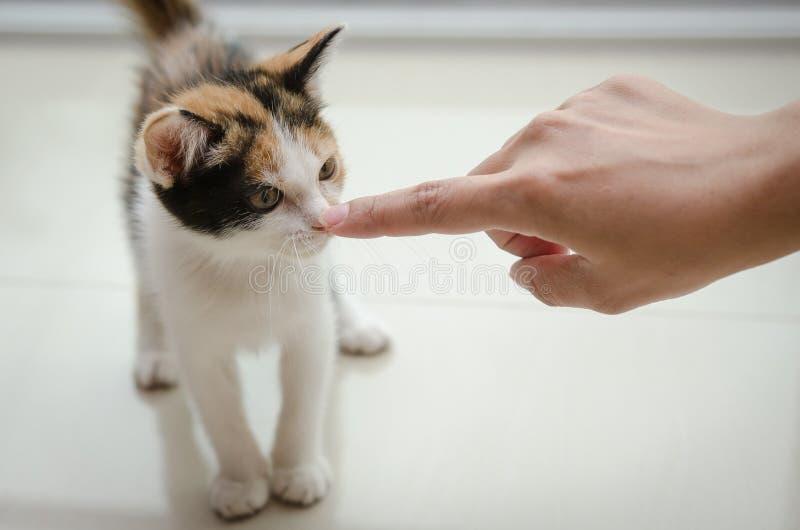 小猫看看手指 免版税库存照片