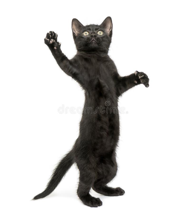 黑小猫站立在后腿的,到达, pawing  免版税图库摄影