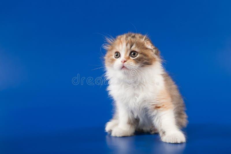 Download 小猫苏格兰人折叠品种 库存照片. 图片 包括有 平纹, 似猫, 国内, 毛皮, pedicured, 蓬松 - 30337552