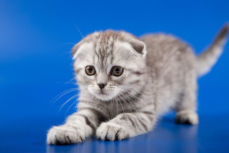 Download 小猫苏格兰人折叠品种 库存图片. 图片 包括有 似猫, 工作室, 国内, 粗野, beautifuler - 30336945