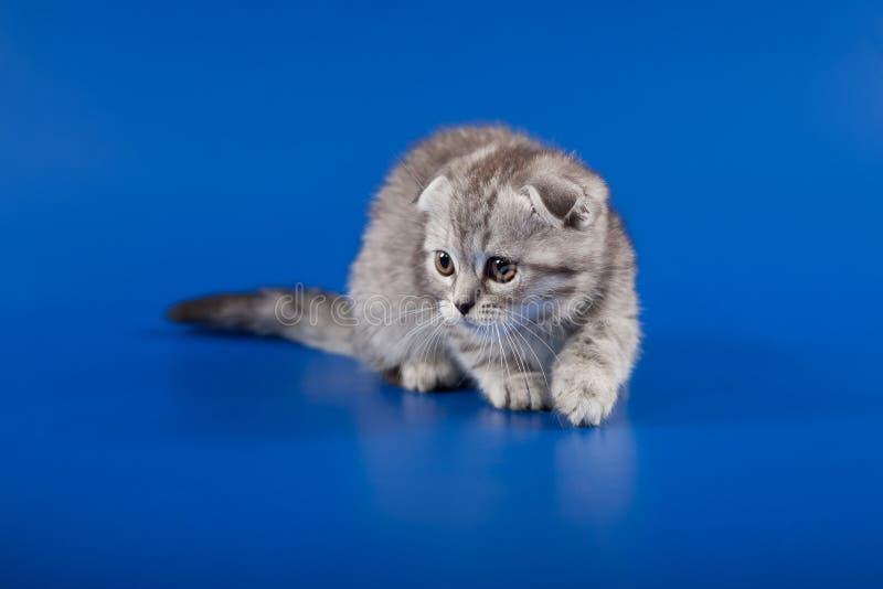 Download 小猫苏格兰人折叠品种 库存照片. 图片 包括有 查找, 国内, 平纹, 颊须, 粗野, 宠物, 使用, 开会 - 30337060