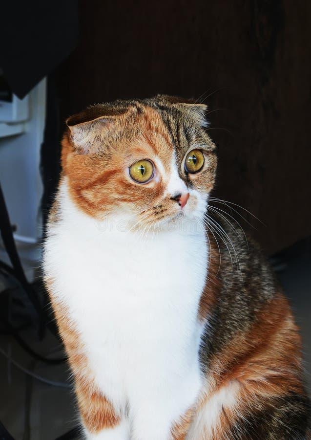 小猫苏格兰人被折叠 图库摄影