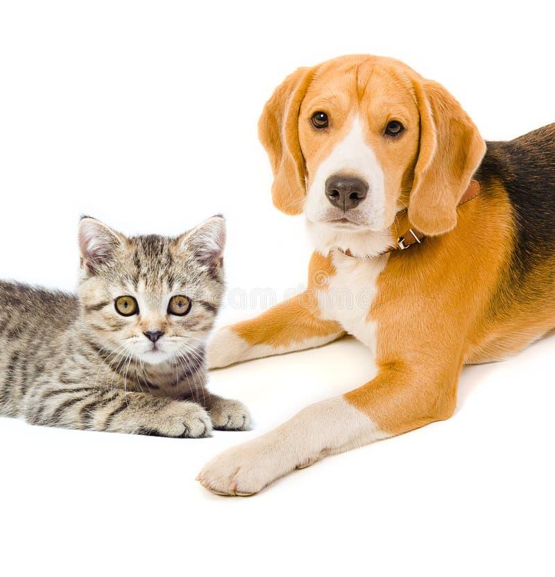 小猫苏格兰平直和小猎犬狗 图库摄影