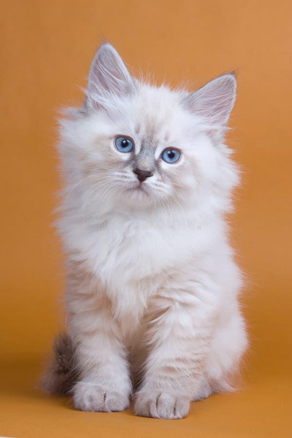 小猫西伯利亚人 免版税图库摄影