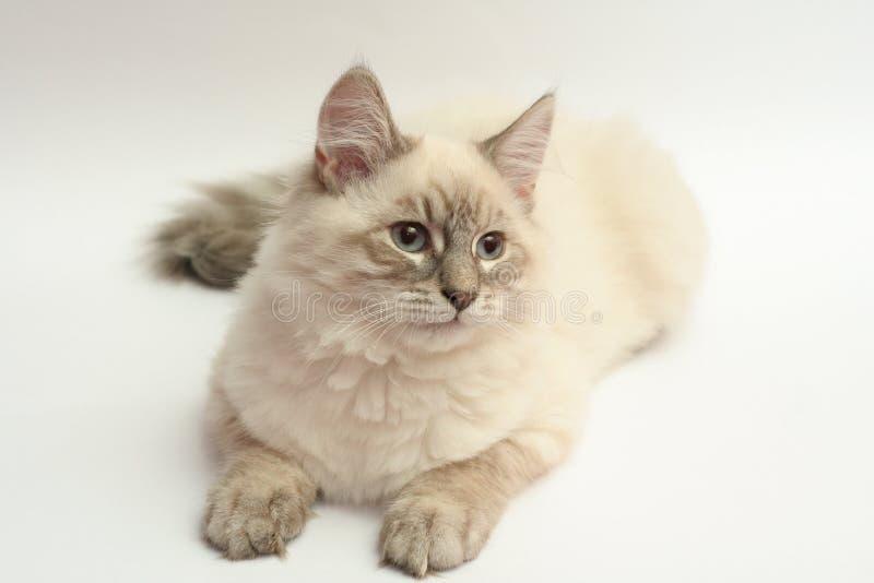 小猫西伯利亚人 库存图片