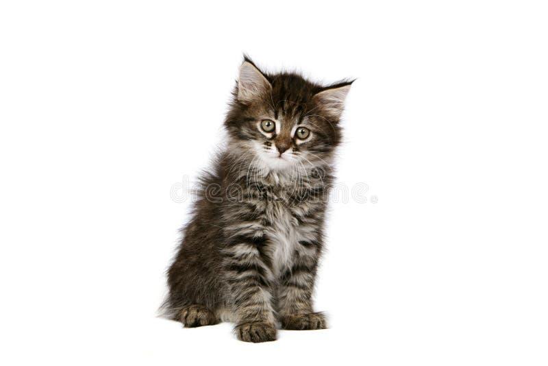 小猫西伯利亚人 免版税库存照片
