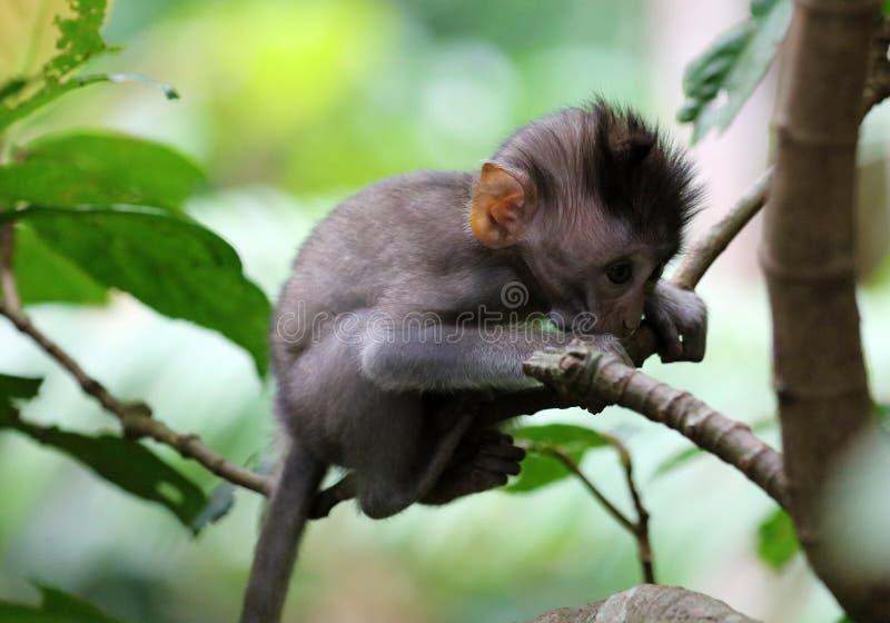 小猴子美丽的独特的画象在猴子森林的在巴厘岛印度尼西亚,相当野生动物 库存照片