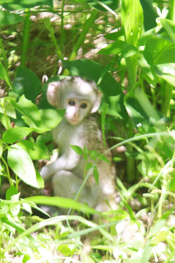 小猴子 库存图片