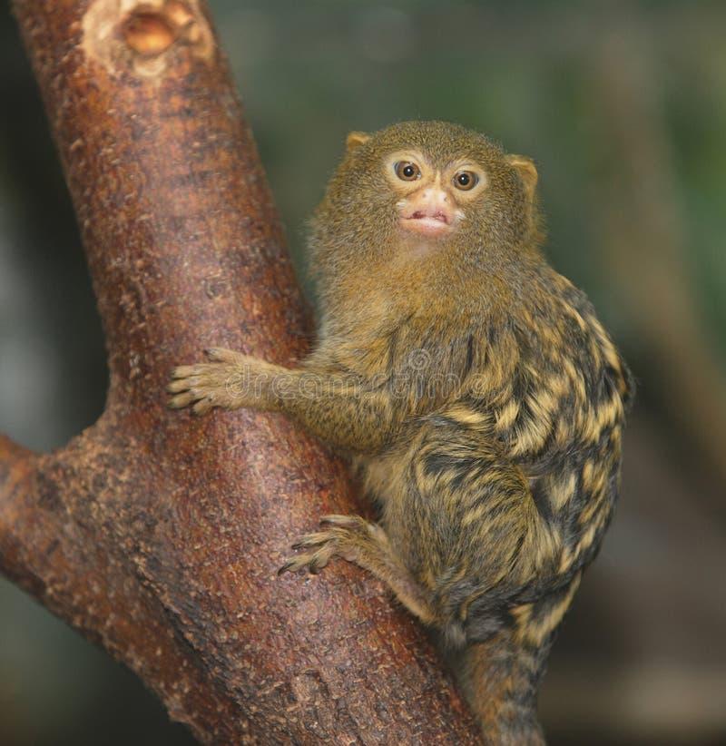 小猿侏儒 免版税图库摄影