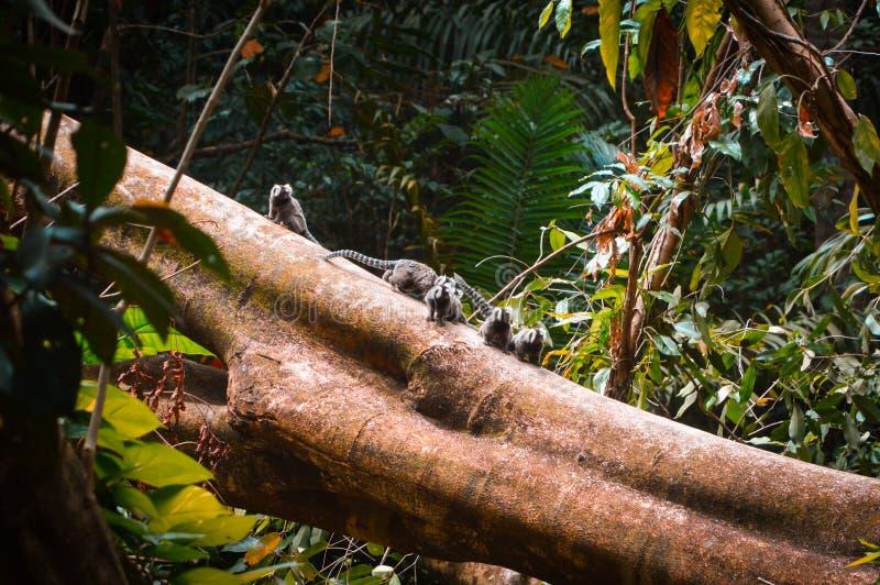 小猿家庭在树干顶部的 库存照片