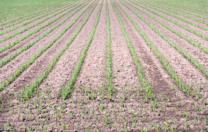 小玉米种植行在雨之后的 免版税库存照片