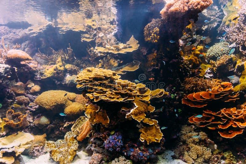 小珊瑚鱼 免版税库存图片