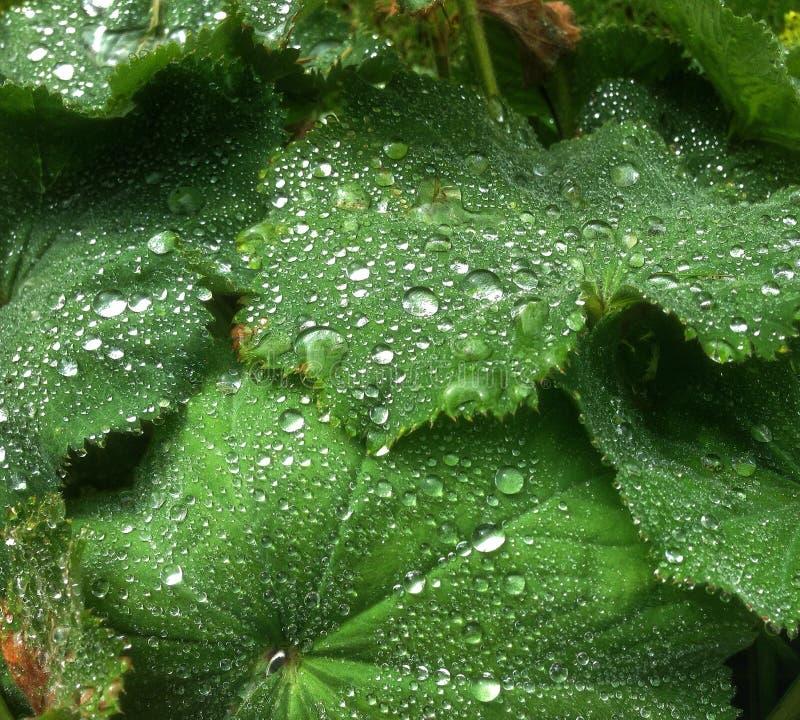 水小珠在叶子的 免版税库存照片