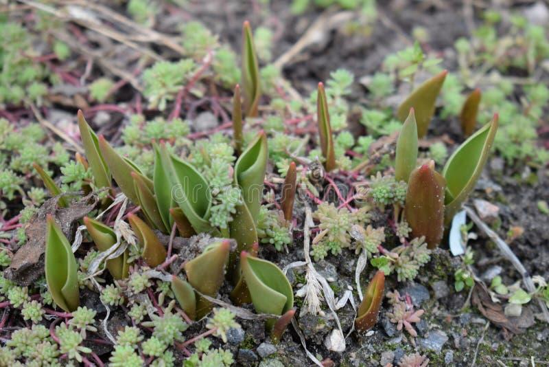 小生长郁金香在春天 新芽种子植物花 免版税库存图片