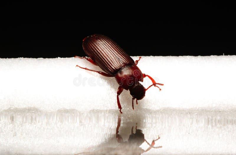 小甲虫宏观小的臭虫 免版税库存照片