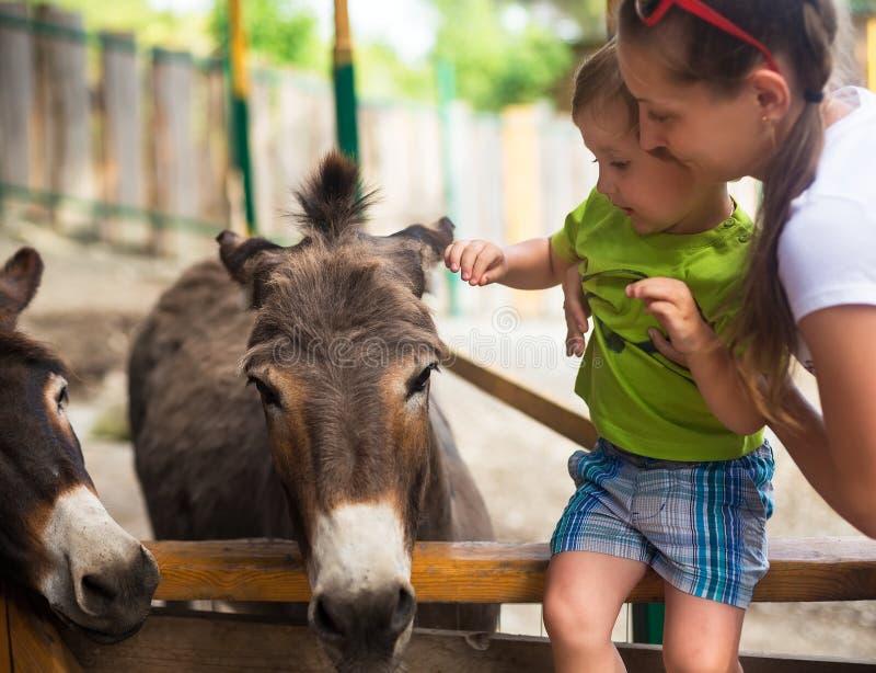 小男孩和驮货驴子在动物园里 库存图片
