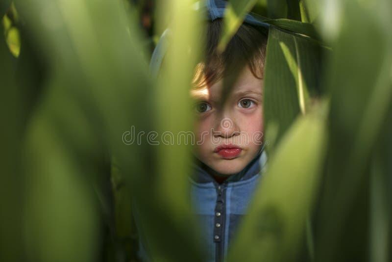 小男孩在麦地掩藏 库存图片