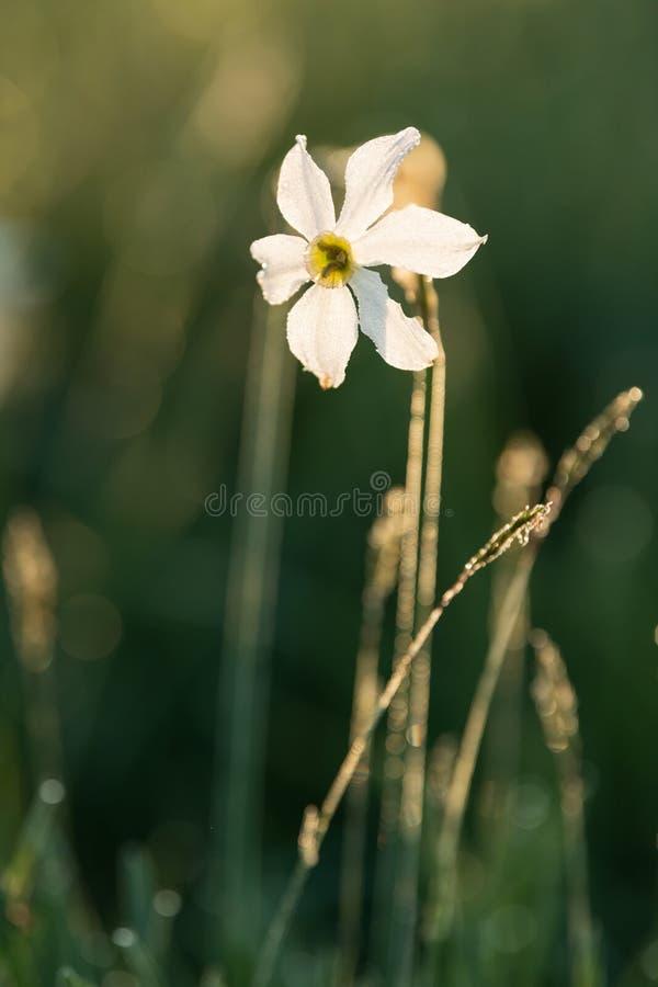 小白色野生黄水仙,水仙radiflorus 免版税库存照片
