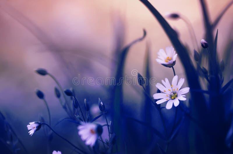 小白花在一块美妙的美丽的蓝色森林沼地增长在一个晴朗的温暖的春天晚上 免版税库存照片