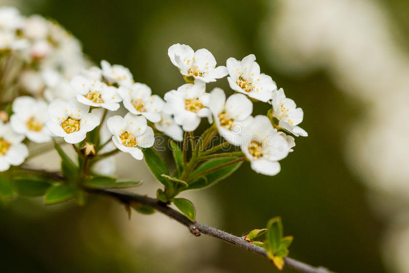 小白花宏观灌木在分支的 免版税库存照片