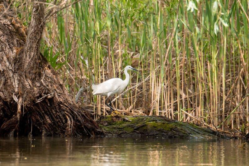 小白鹭狩猎,与在额嘴的鱼,多瑙河三角洲,罗马尼亚野生生物观鸟 免版税库存图片
