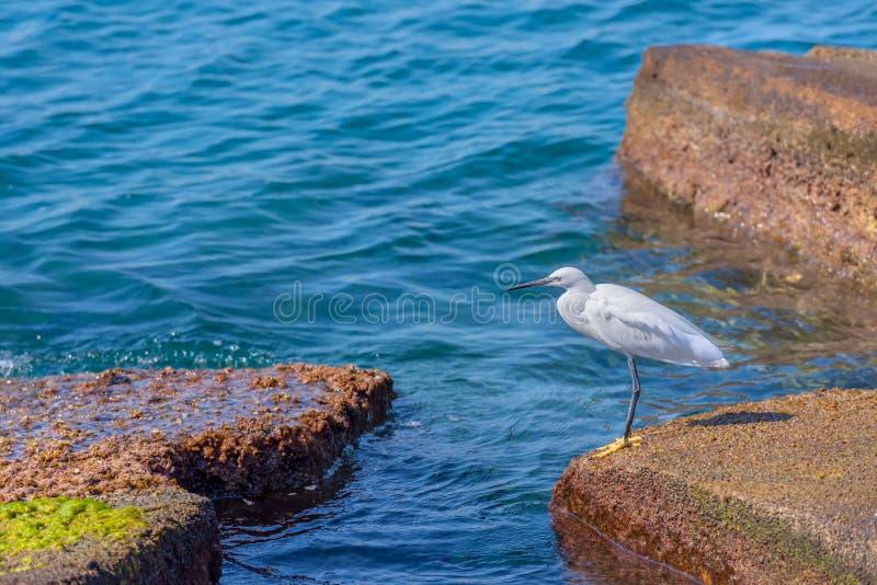 小白鹭白鹭属在海滨的garzetta身分,寻找食物,有绿松石明白水背景,在a 库存照片