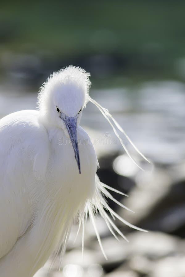 小白鹭白鹭属garzetta白色涉水鸟 免版税库存图片