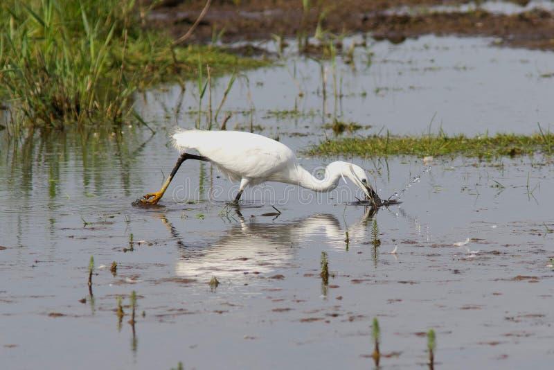 小白鹭,白鹭属garzetta,寻找在沼泽 库存照片
