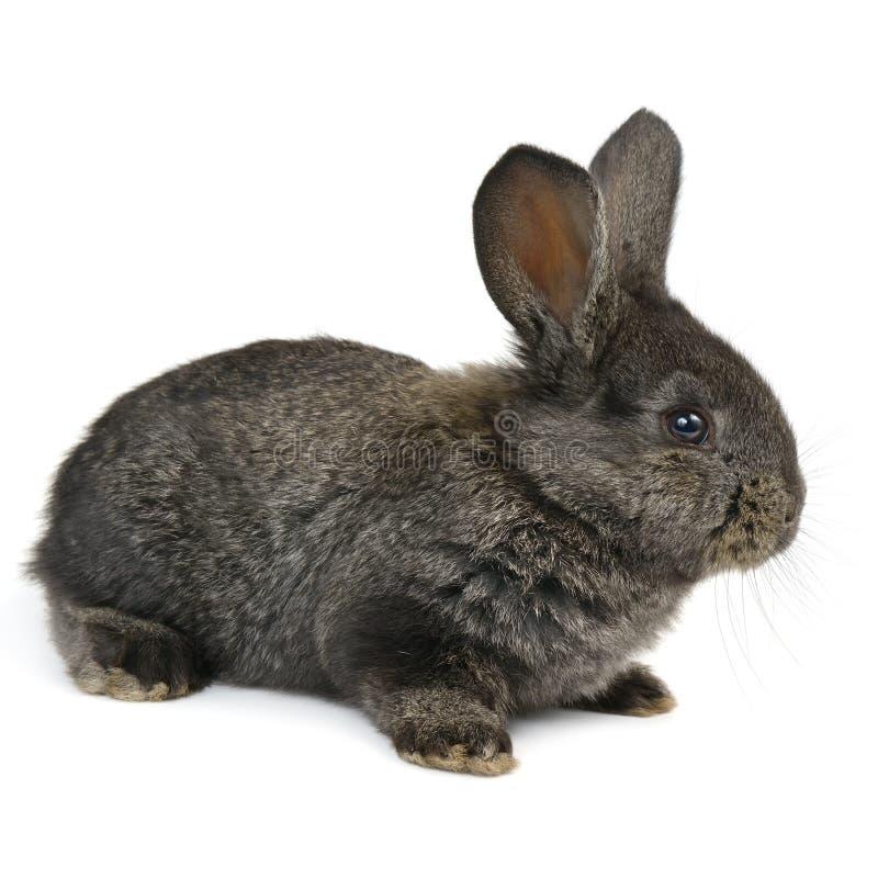 黑小的兔子 免版税库存照片