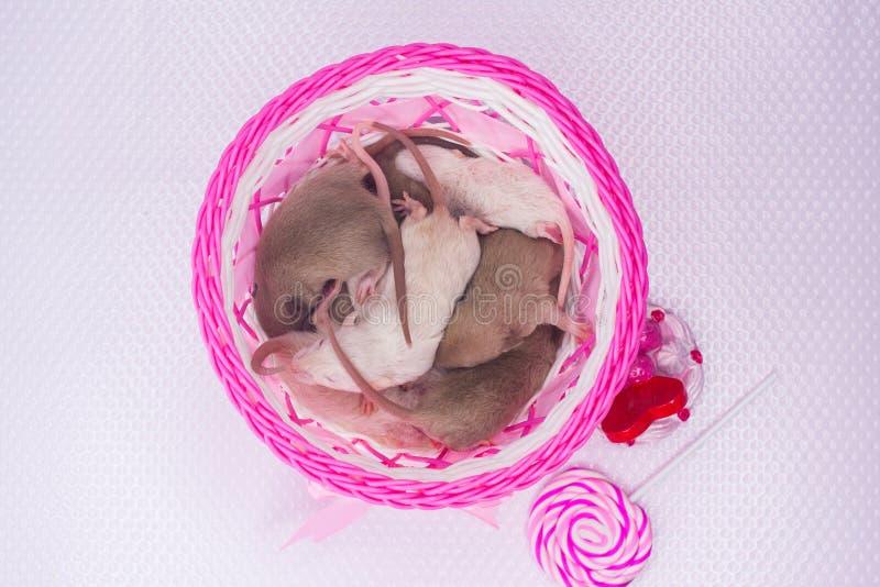 小的啮齿目动物在一个桃红色篮子睡觉 老鼠崽在箱子 库存图片