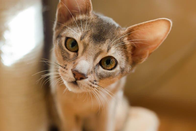 小的埃塞俄比亚小猫画象特写镜头好奇枪口 库存照片