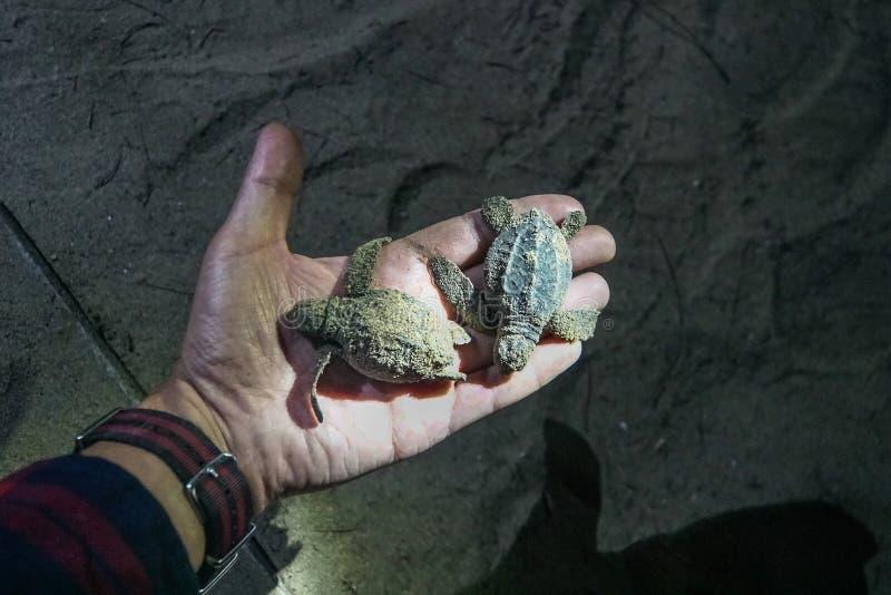 小的小乌龟在夜的手上 库存照片
