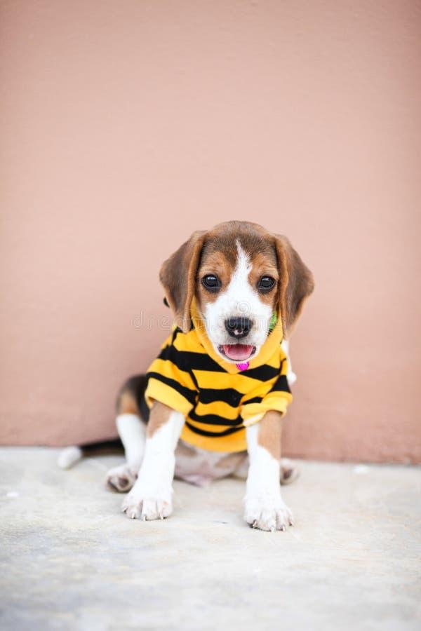 小的小猎犬坐在水泥地板 免版税库存照片