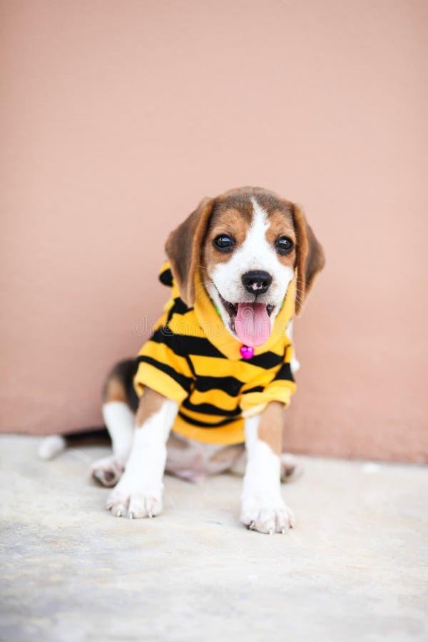 小的小猎犬是坐和微笑对水泥地板 免版税库存图片