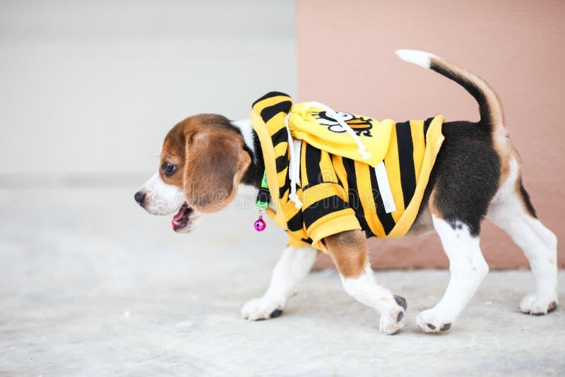 小的小猎犬走 图库摄影