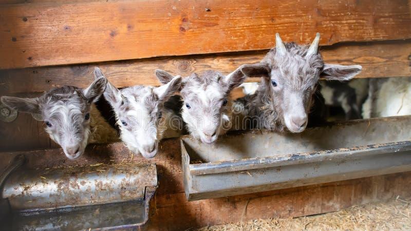 小的山羊在生产绵羊` s牛奶的槽枥 免版税库存照片