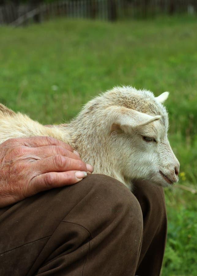 小的山羊 免版税库存图片